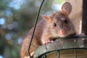 Rat extermination, Pest Control in Brent Cross, Hendon, NW4. Call Now 020 8166 9746