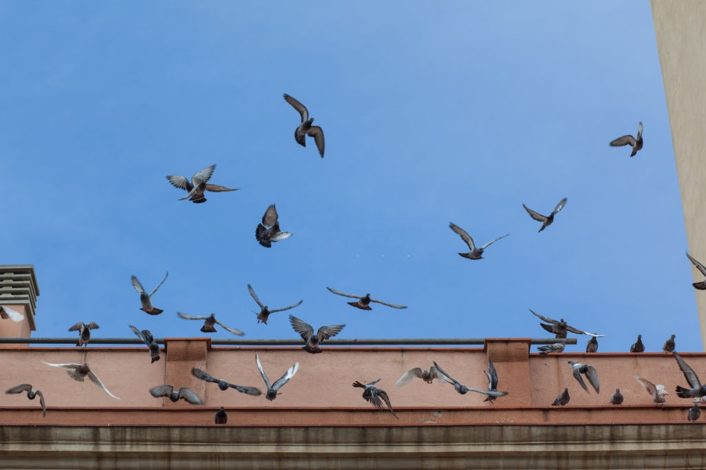 Pigeon Control, Pest Control in Brent Cross, Hendon, NW4. Call Now 020 8166 9746