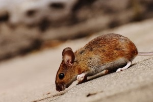 Mouse extermination, Pest Control in Brent Cross, Hendon, NW4. Call Now 020 8166 9746