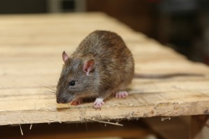 Mice Infestation, Pest Control in Brent Cross, Hendon, NW4. Call Now 020 8166 9746